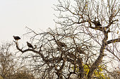 Vultures sitting in a tree in Greater Kruger National Park