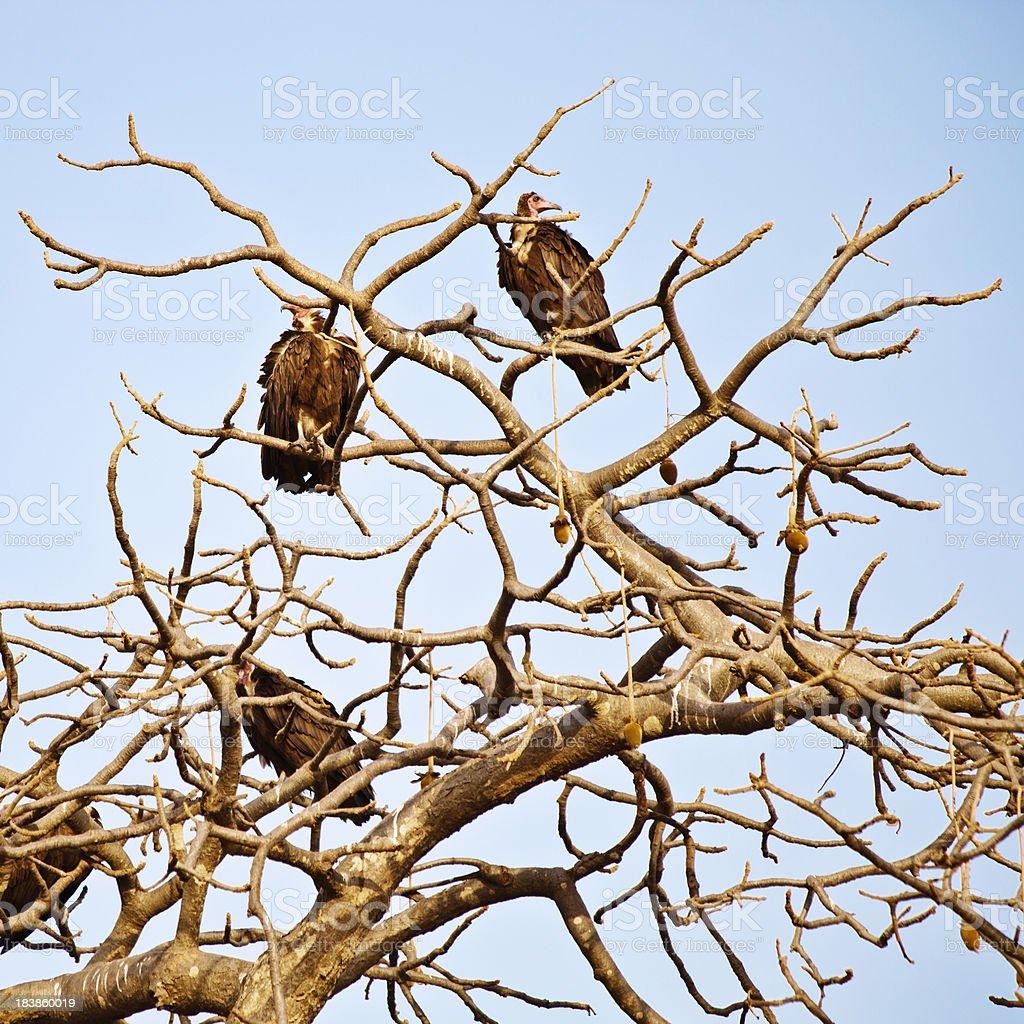 Vultures sitting on baobab tree. stock photo