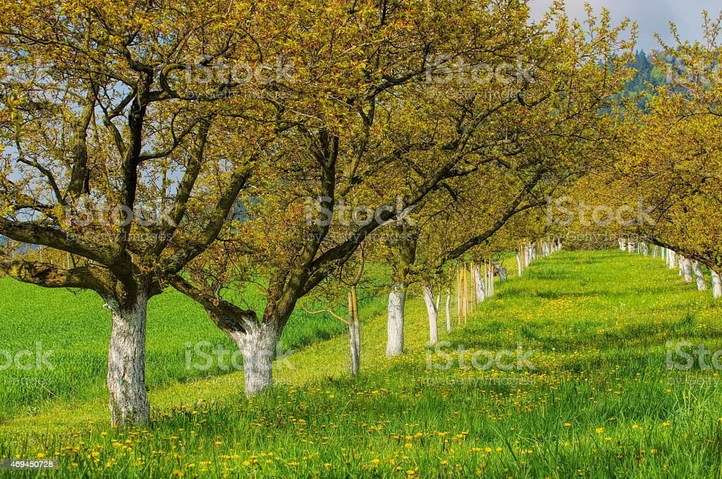 Wachau apricot trees stock photo