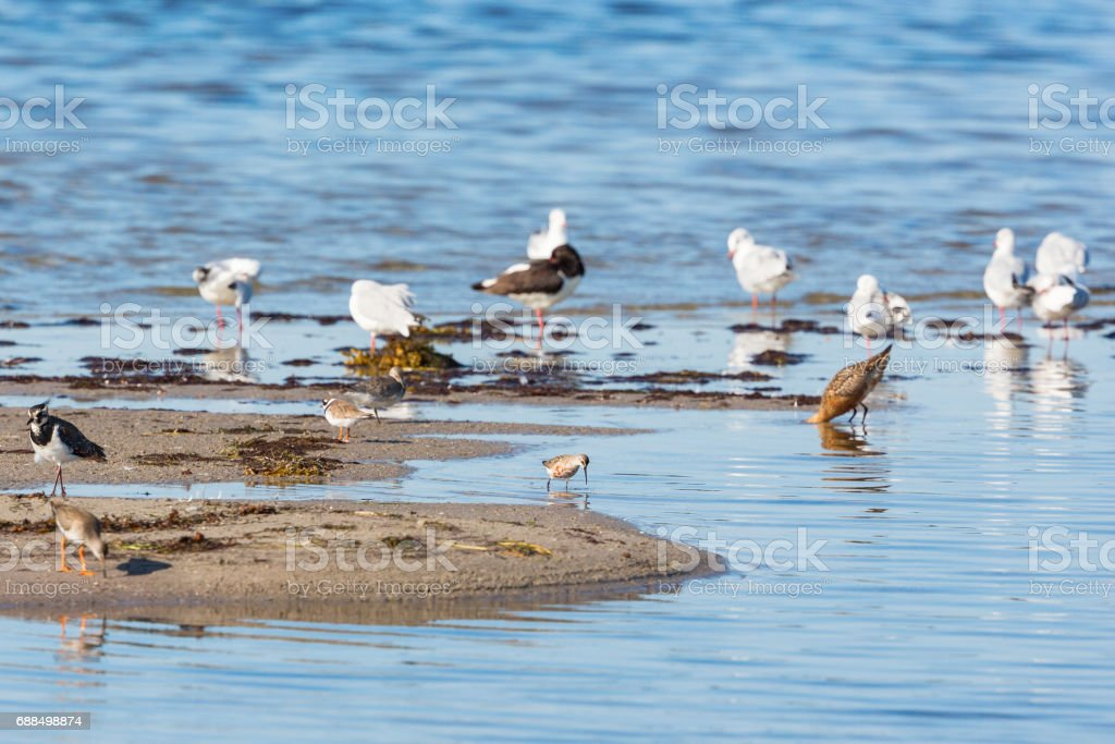 Wader birds on a beach stock photo