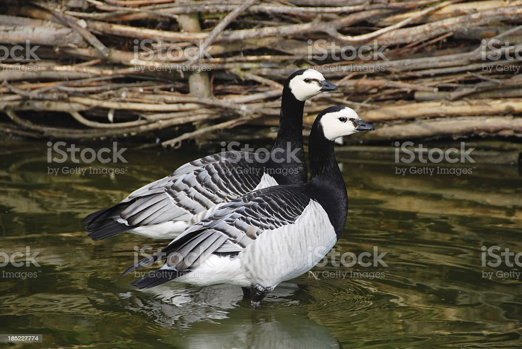 Wading Barnacle Goose royalty-free stock photo