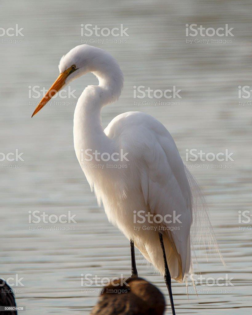 Wading Egret stock photo