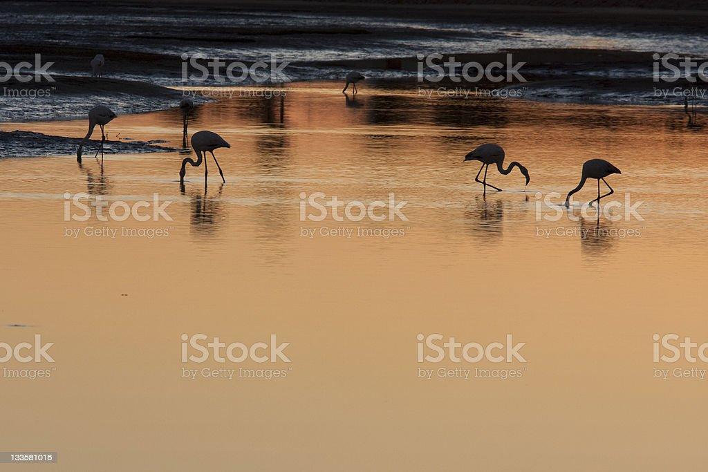 Wading flamingoes at sunrise stock photo