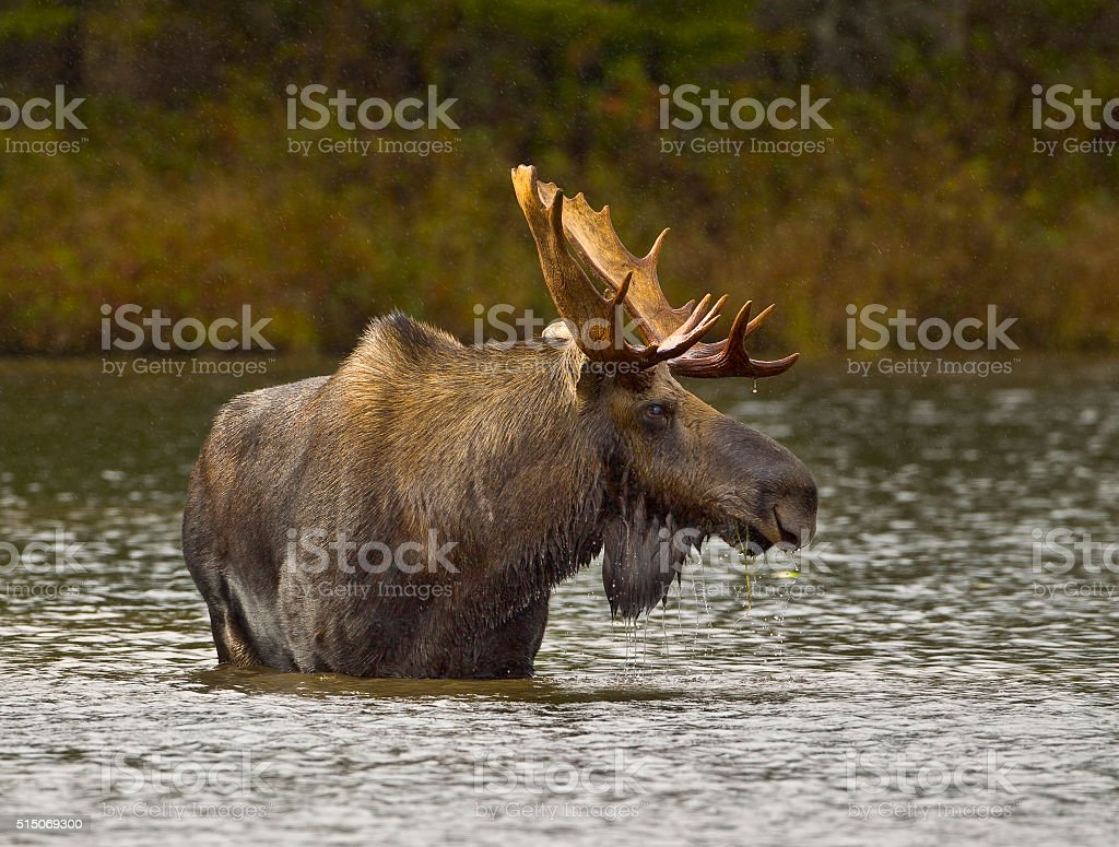 Wading For Breakfast stock photo