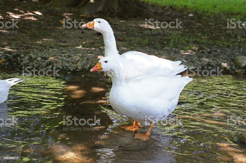 Wading in the Summertime stock photo