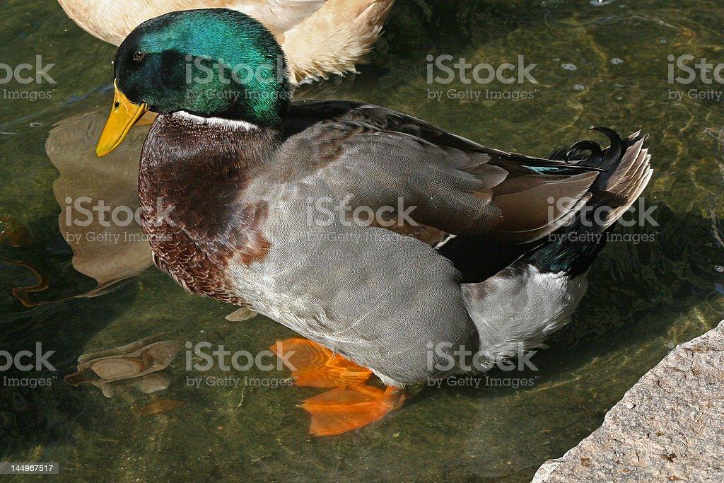 wading mallard royalty-free stock photo