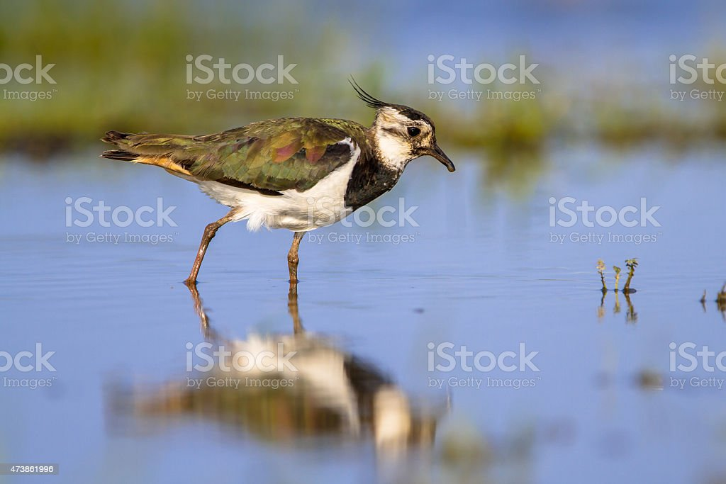 Wading Northern Lapwing stock photo