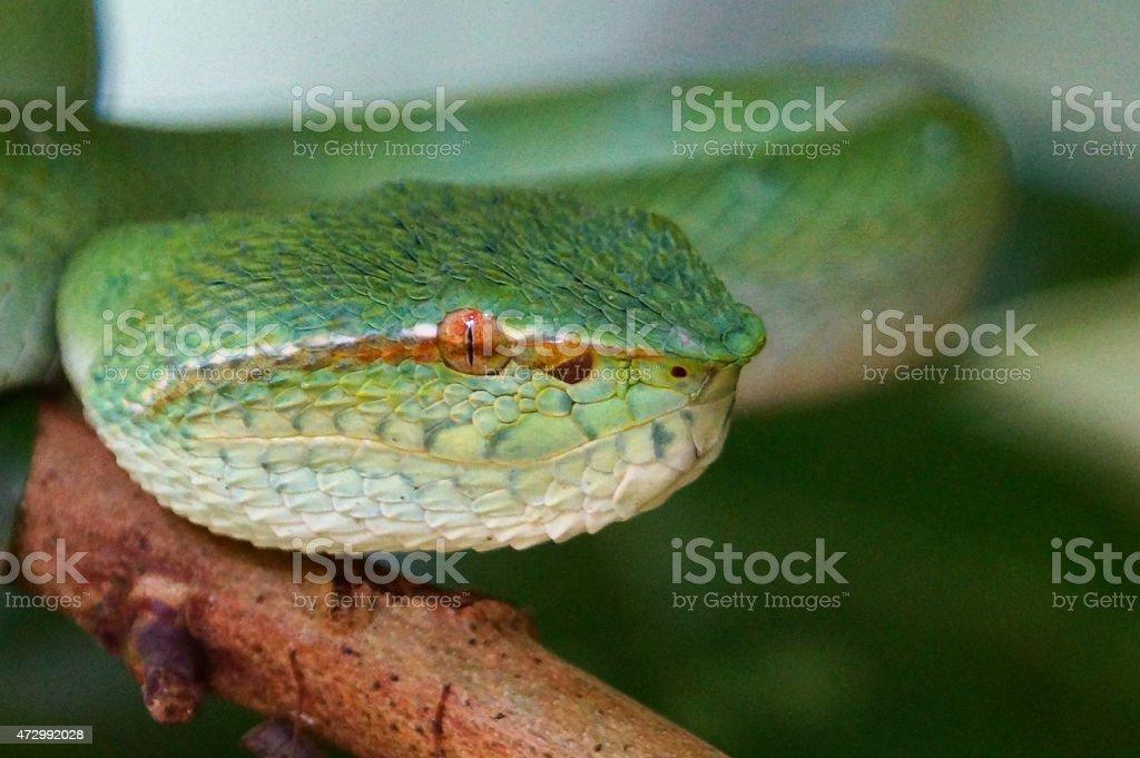 Wagler's pit viper stock photo