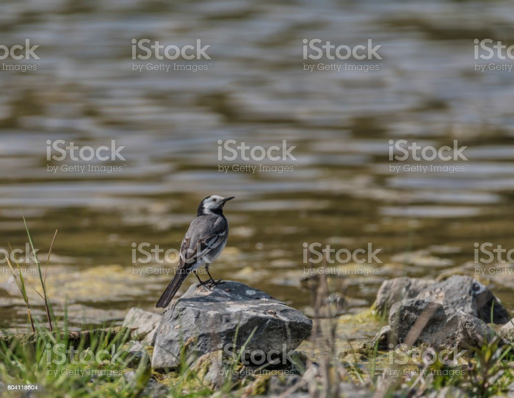 Wagtail bird near lake in spring stock photo