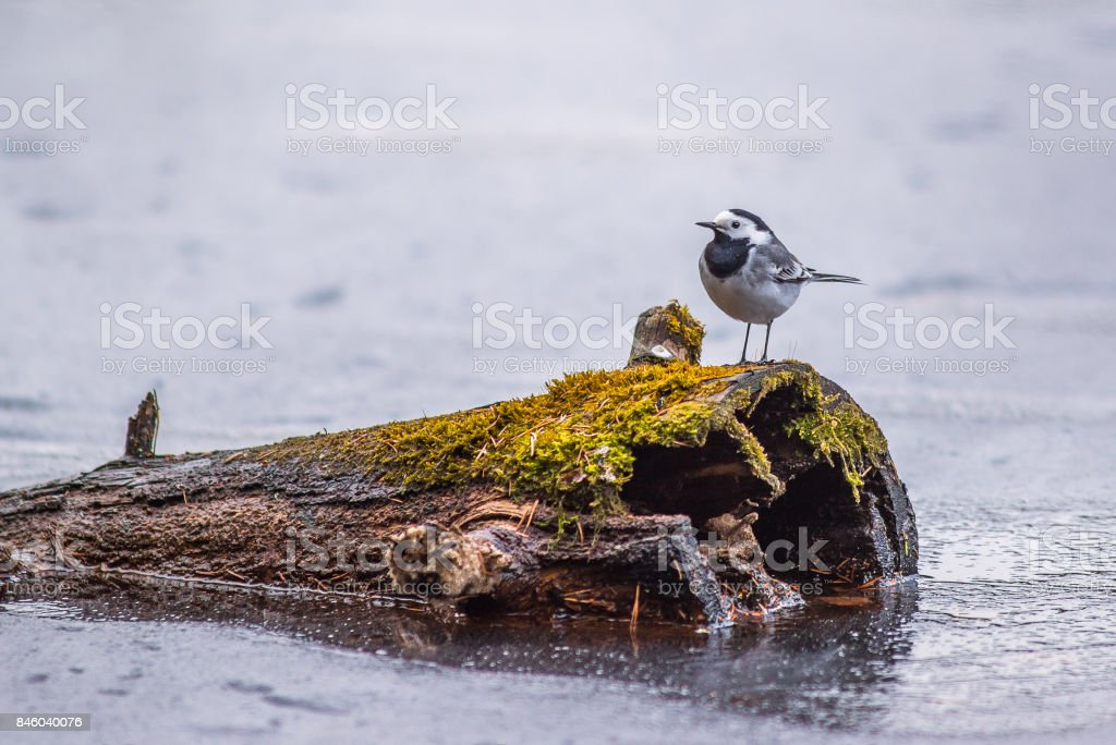 Wagtail bird stock photo