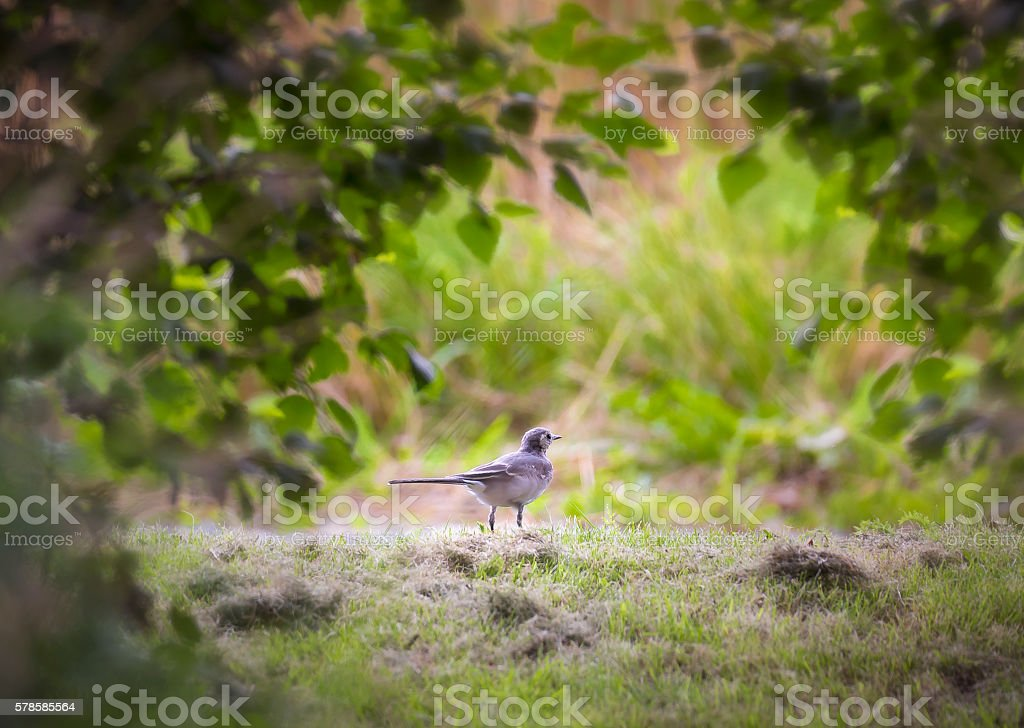 Wagtail in a tunnel of light stock photo