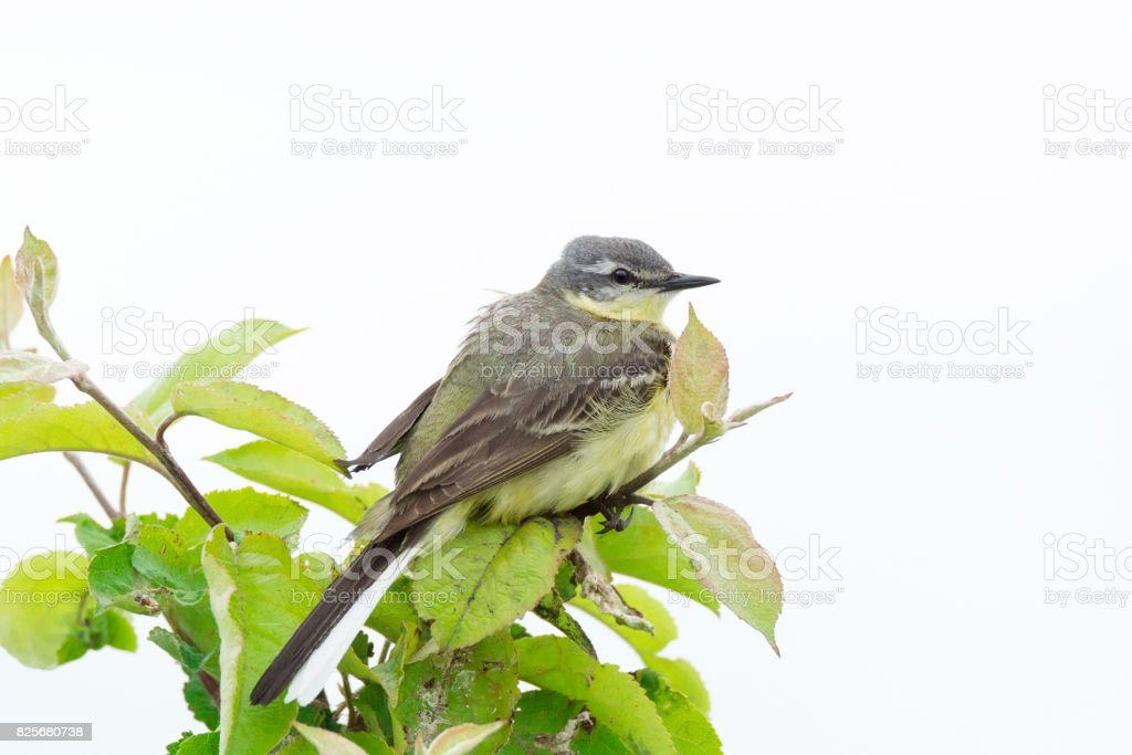 wagtail on a branch stock photo