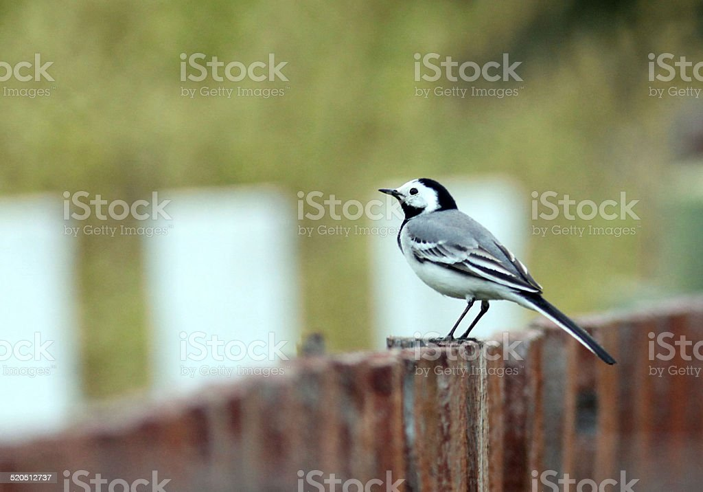 wagtail on the fence stock photo