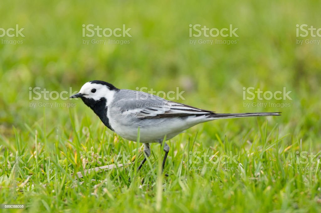 wagtail on the grass stock photo