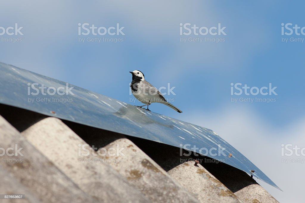 wagtail on the roof stock photo