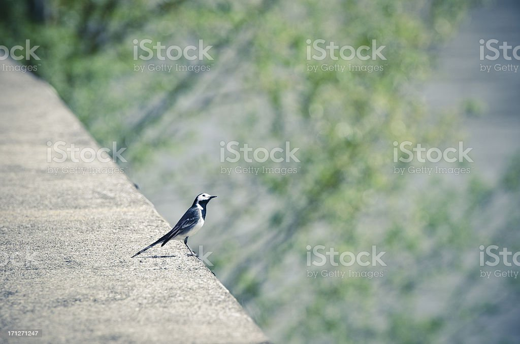 wagtail royalty-free stock photo