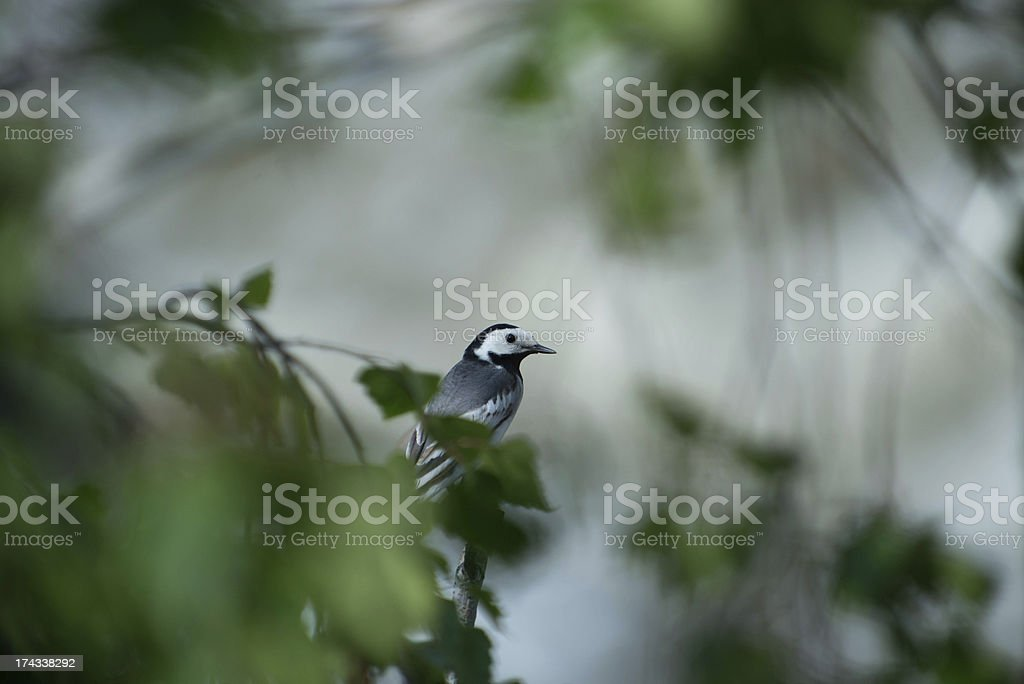 Wagtail sitting on a branch royalty-free stock photo