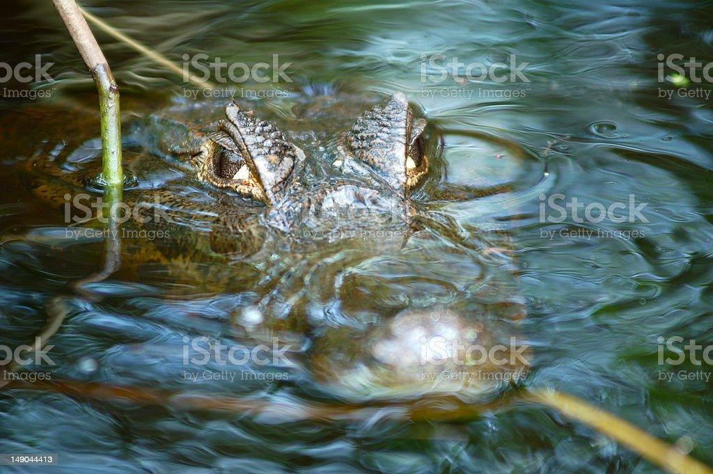 Waiting Alligator - Amazon River royalty-free stock photo