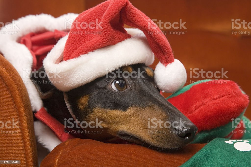Waiting For Santa Dachshund royalty-free stock photo
