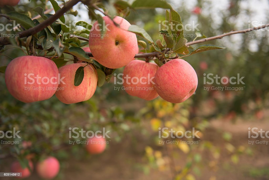 Waiting for the harvest of apples. stock photo