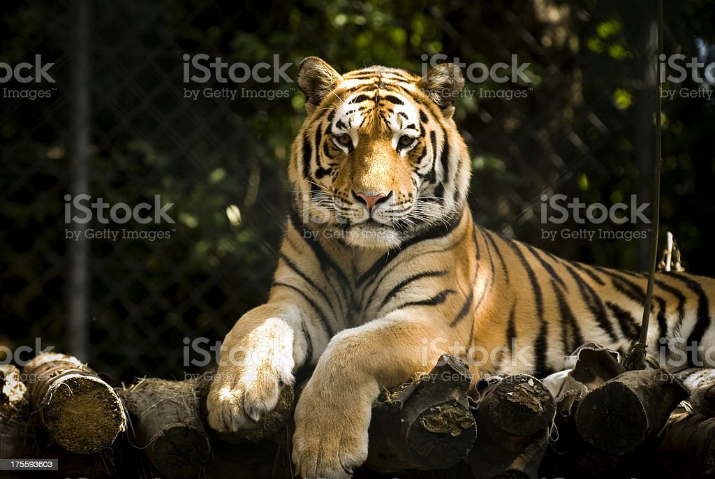 waiting tiger stock photo