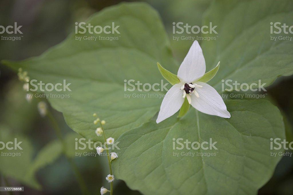 Wake Robbin Trillium royalty-free stock photo