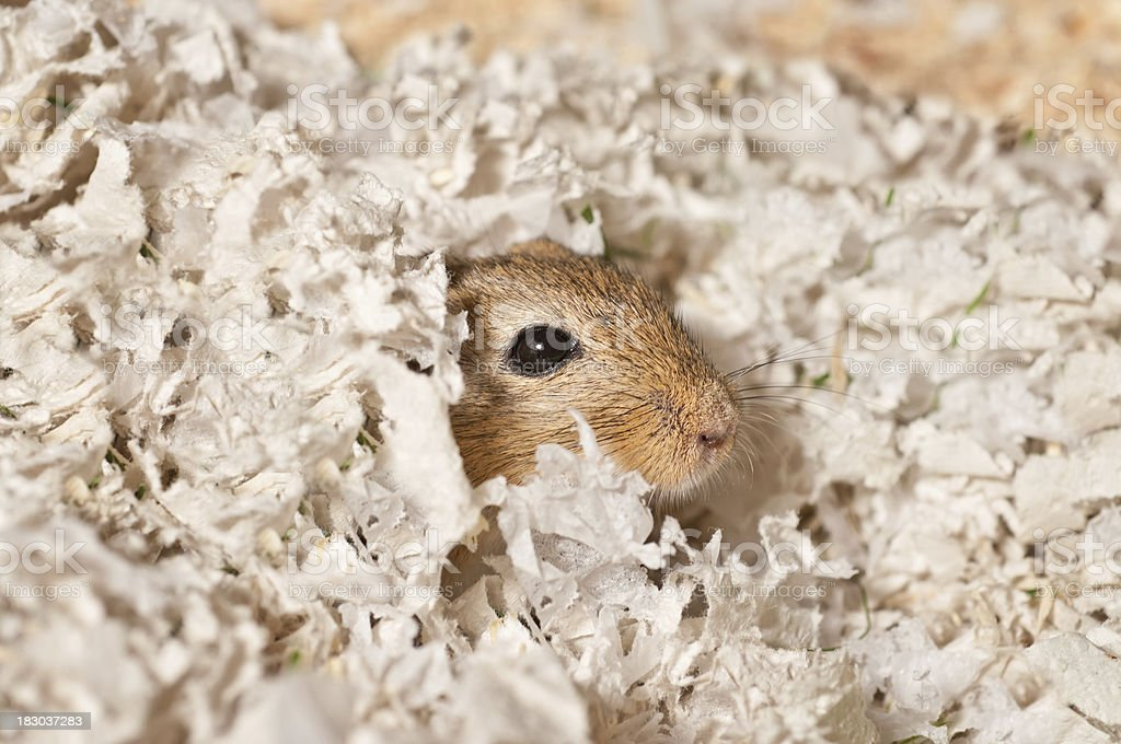 wake up call - Gerbil in his bed stock photo