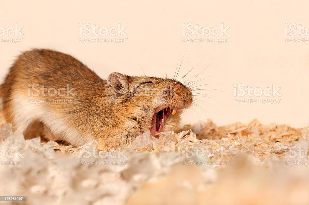 wake up call - Gerbil yawning stock photo