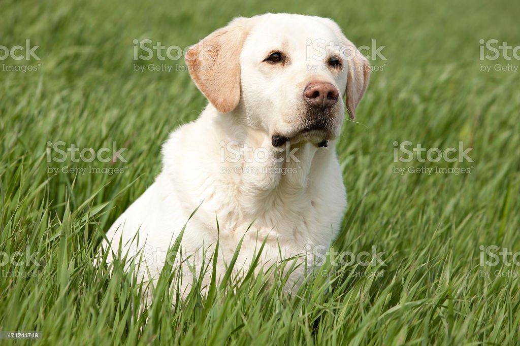 wakeful labrador retriever stock photo