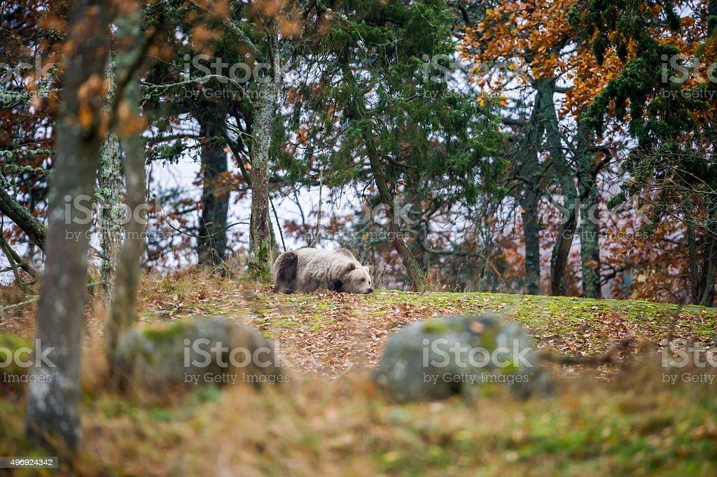 Wakening Bear stock photo