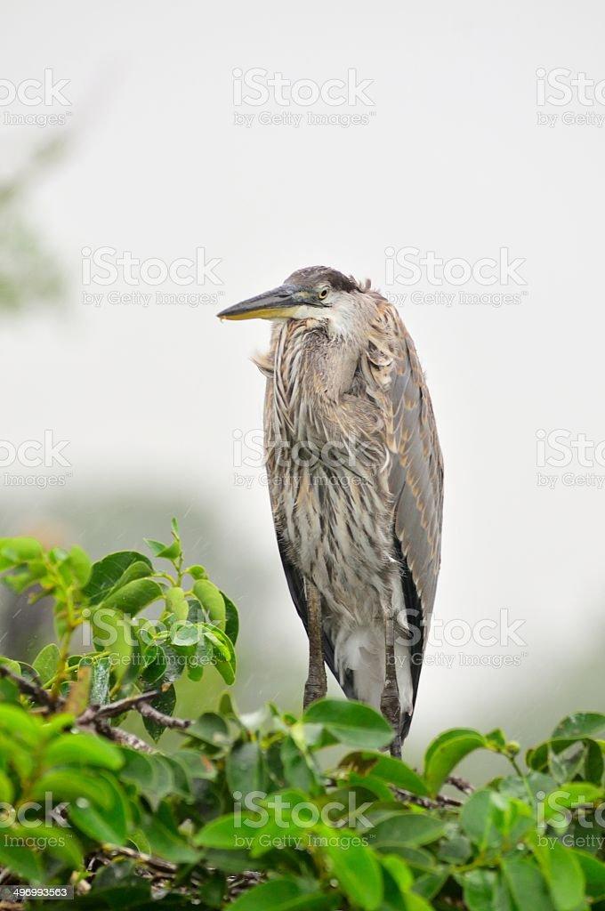 Wakodahatchee Great Blue Heron royalty-free stock photo