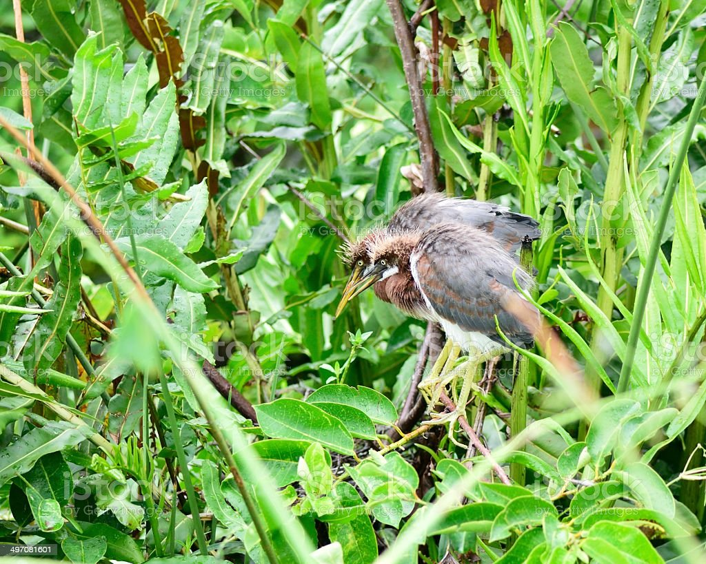 Wakodahatchee Tricolored Herons Fledglings royalty-free stock photo