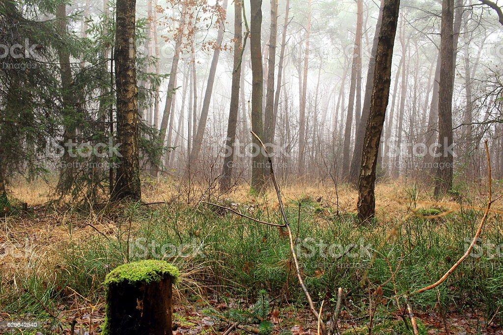 Wald im Nebel stock photo