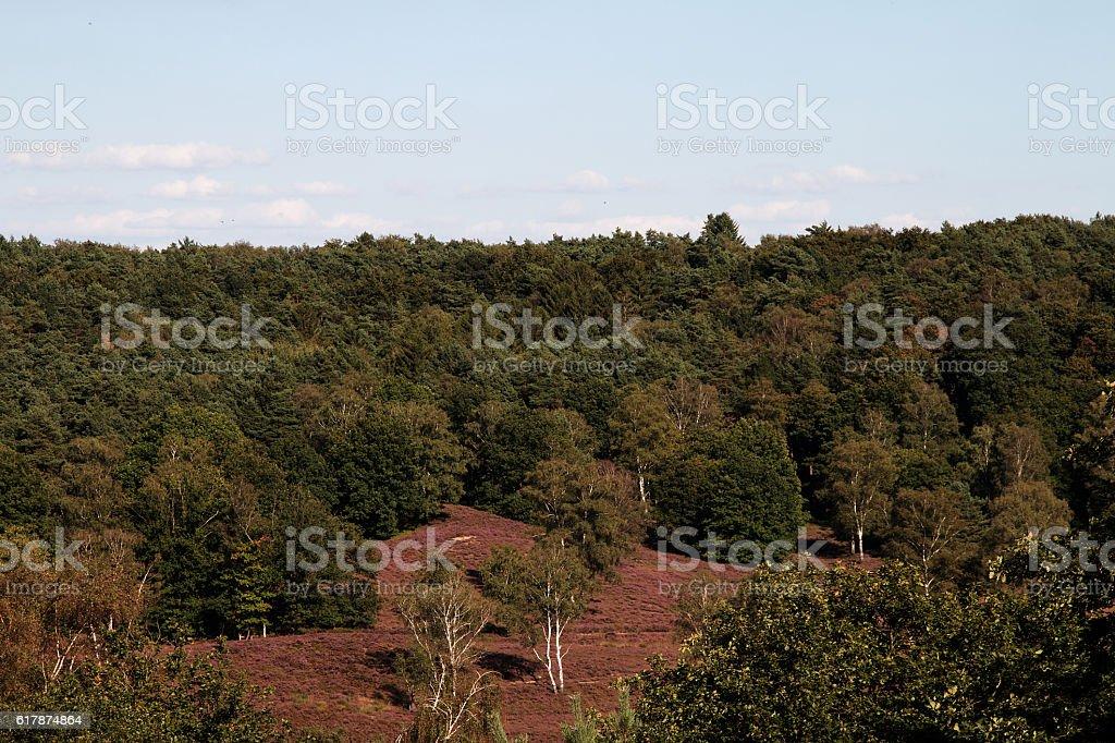 Waldabschnitt mit Besenheide - Forest section with broom heath stock photo