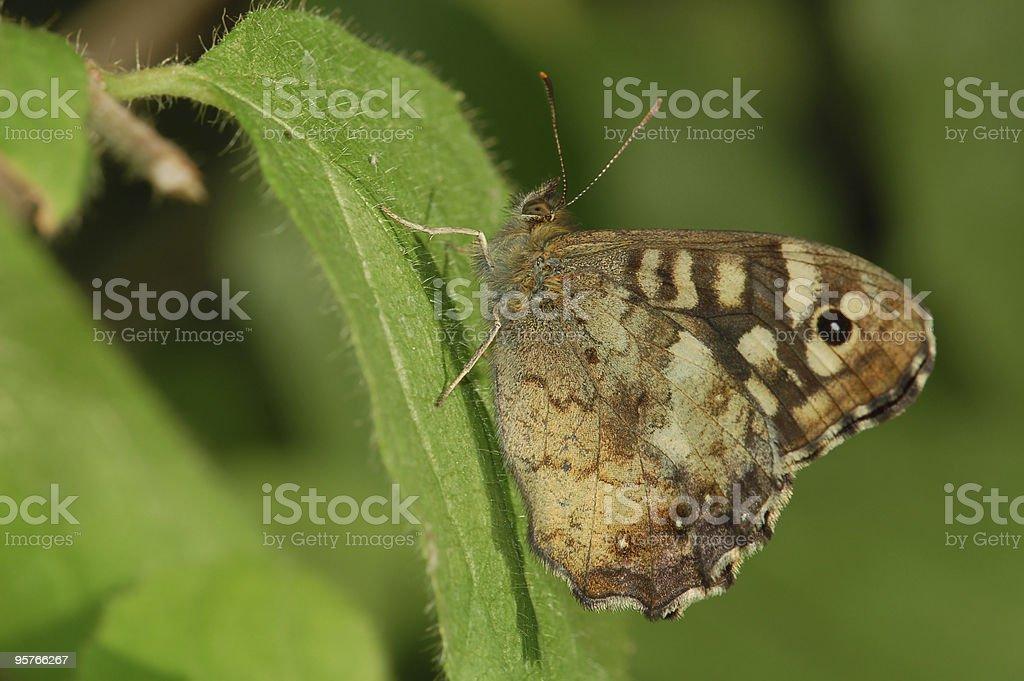 Waldbrettspiel (Pararge aegeria) stock photo