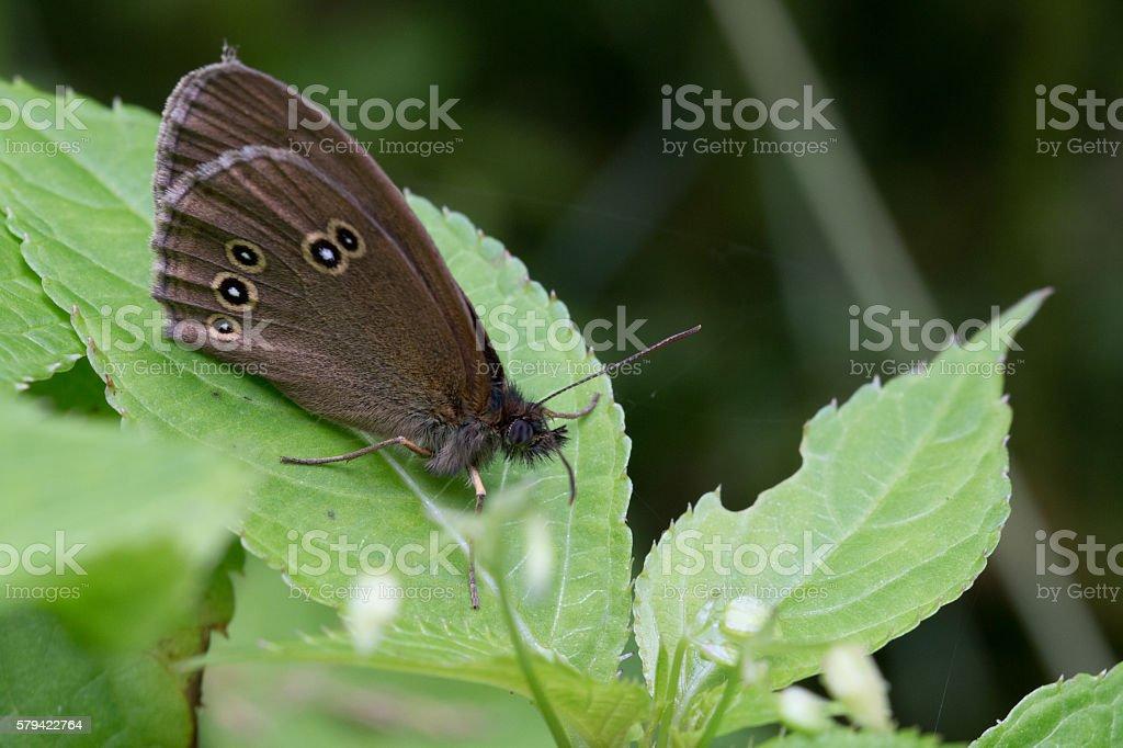 Waldbrettspiel von der Seite-Speckled wood butterfly from the side stock photo