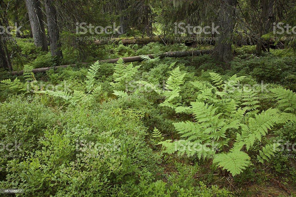 Wald-Frauenfarn, Athyrium filix-femina, lady fern stock photo