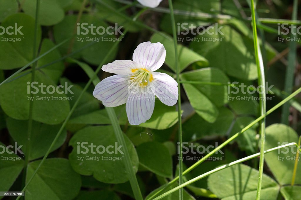 Waldsauerklee Blüte - Wood sorrel flowering stock photo