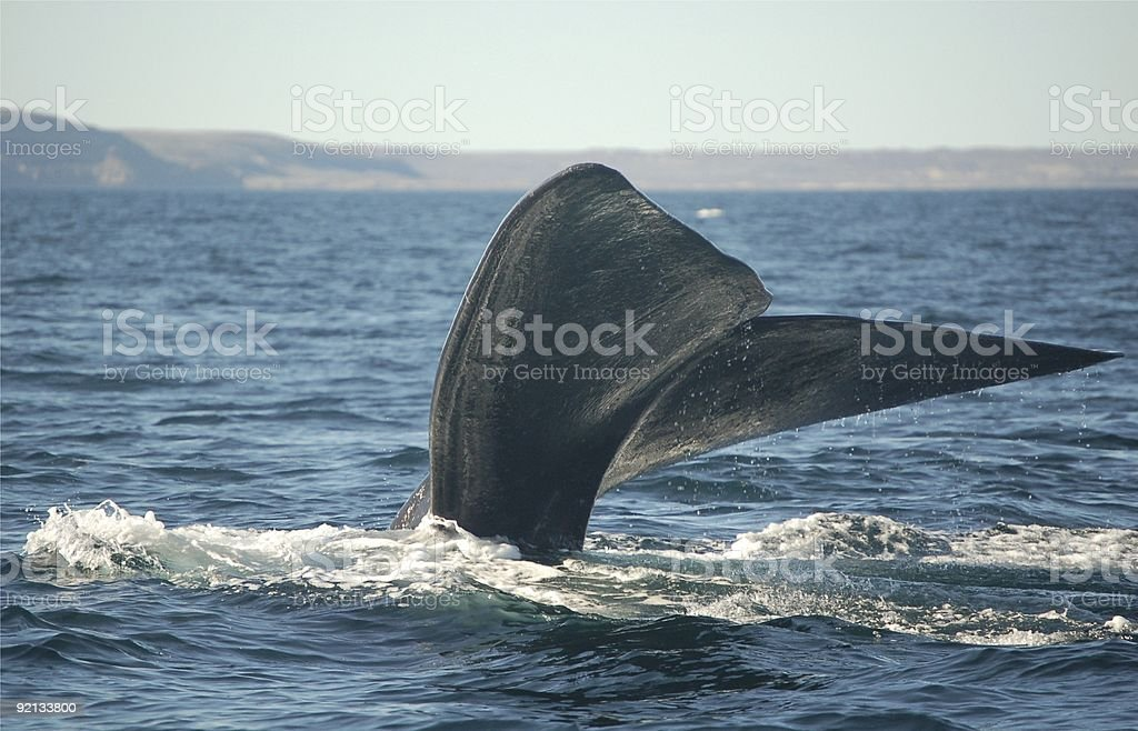 Wale Tail nurkowanie zbiór zdjęć royalty-free