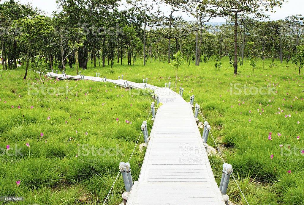 Walk Way in Siam Tulip Field royalty-free stock photo
