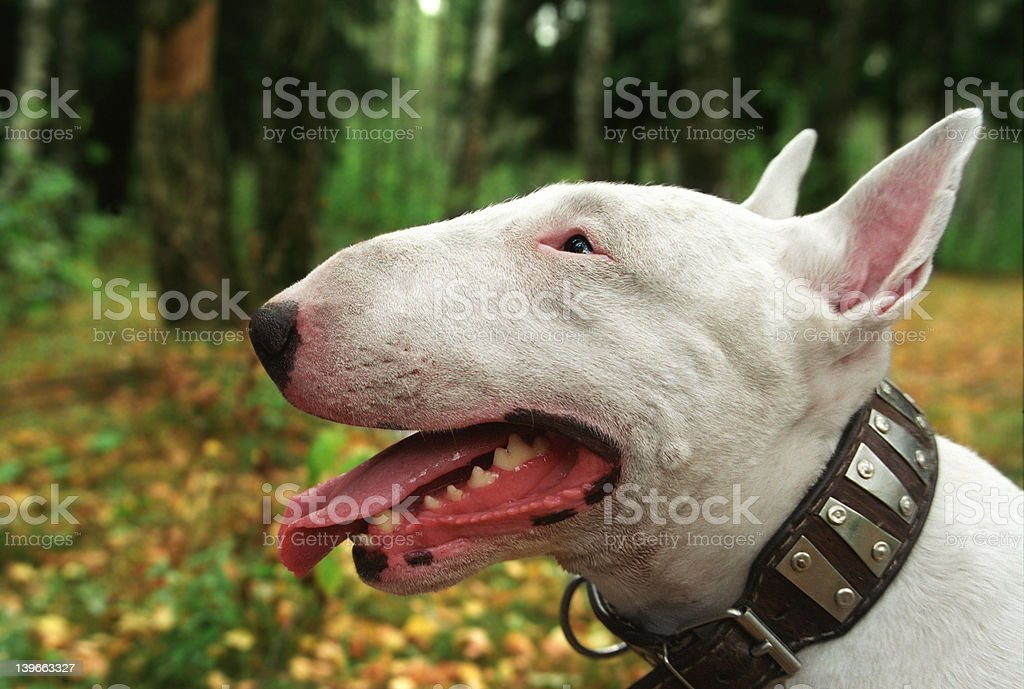 walk with bullterrier stock photo