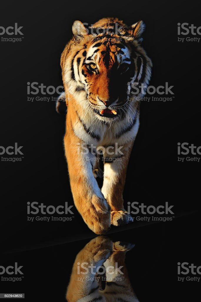 Walkig Tiger stock photo