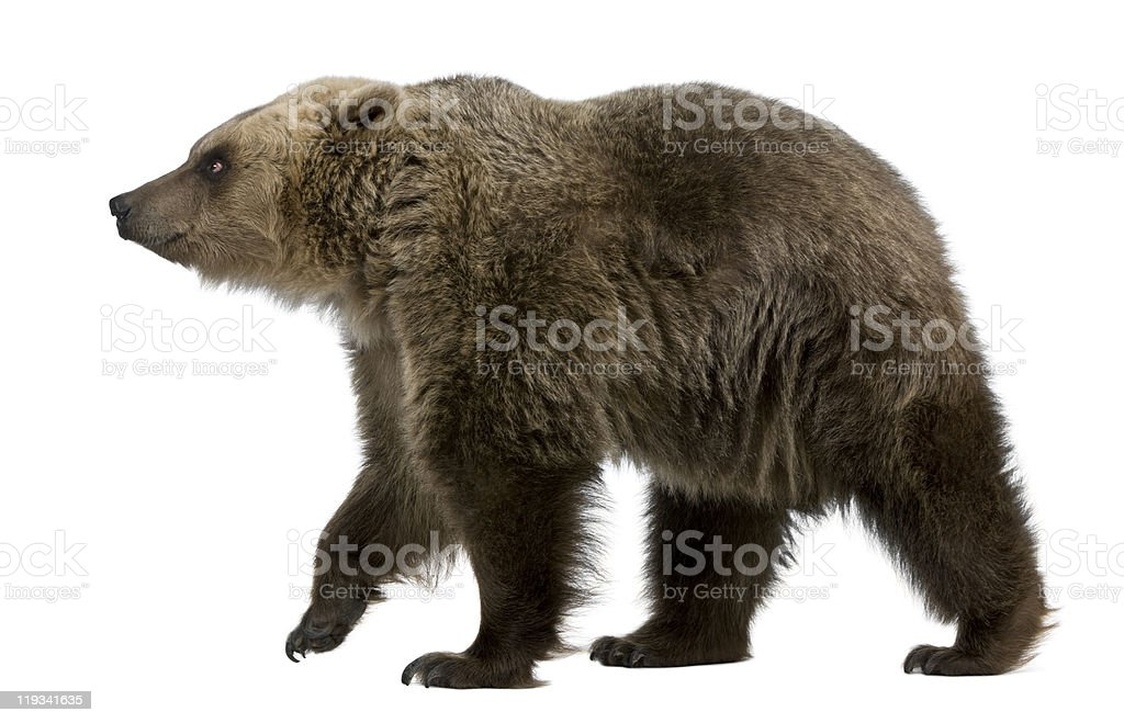 Walking 8-year-old brown bear isolated on white stock photo