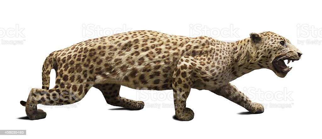 Walking adult leopard. Isolated over white royalty-free stock photo