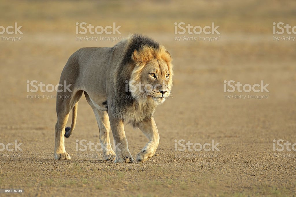 Walking African lion royalty-free stock photo