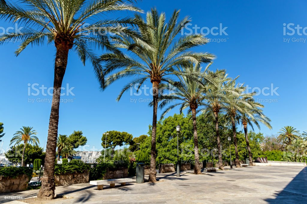 Walking alley with palms against blue sky,Palm alley stock photo