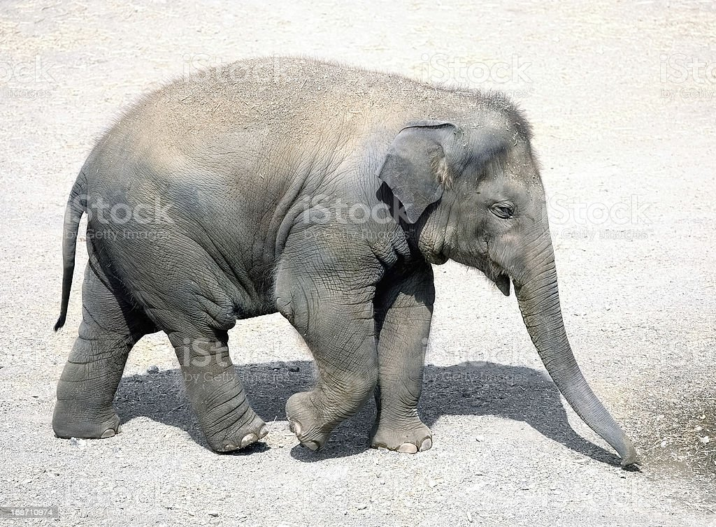 Walking baby elephant royalty-free stock photo