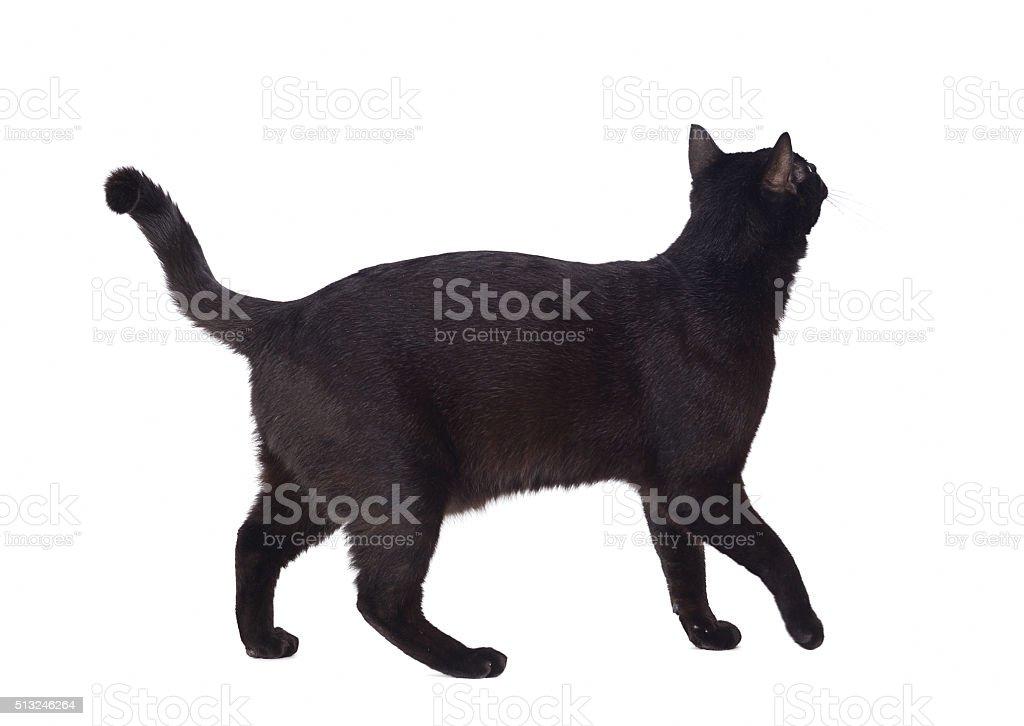 Walking black cat stock photo