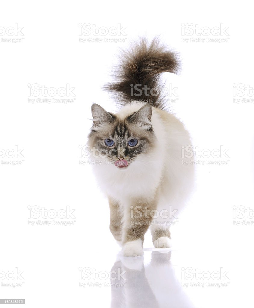 Walking Briman Cat stock photo