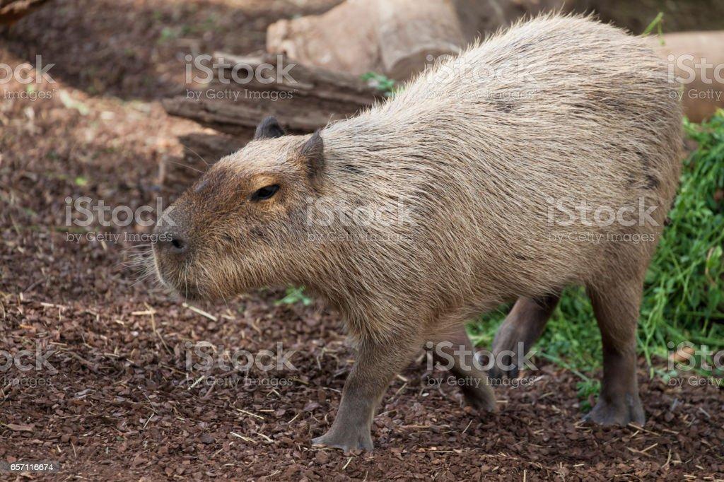 Walking Capybara stock photo
